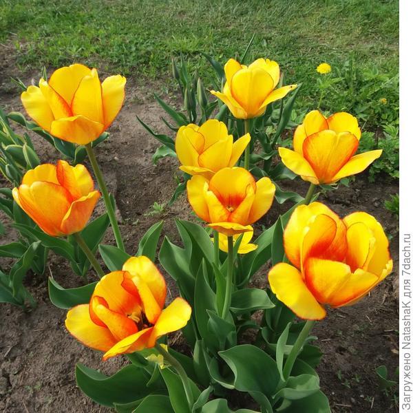 Яркость цветения