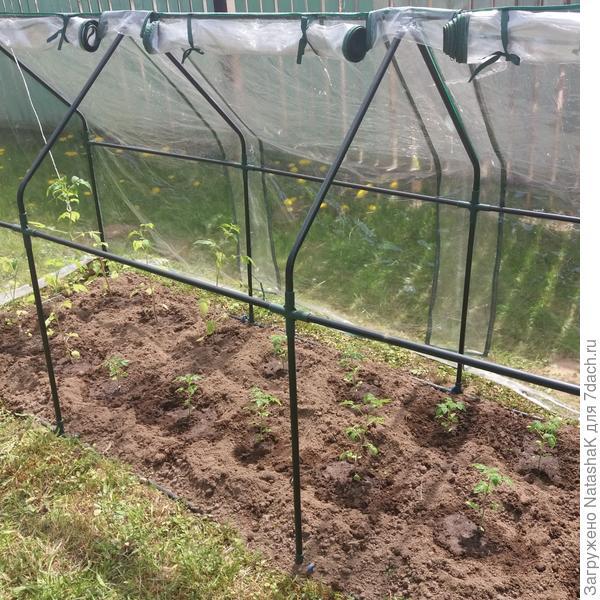 Мини помидоры высажены в минипарник
