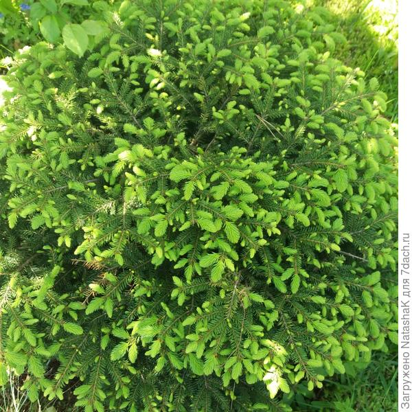 Декоративный еловый карликовый кустарник