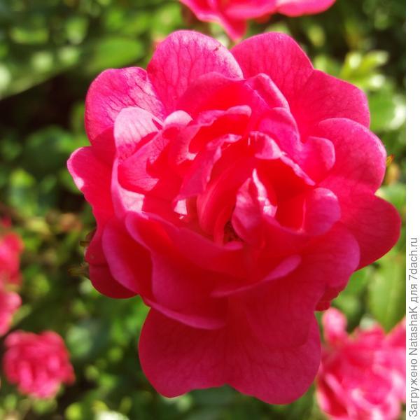 Цикламеновый цветок