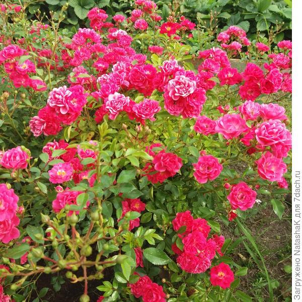 Роза Heidetraum
