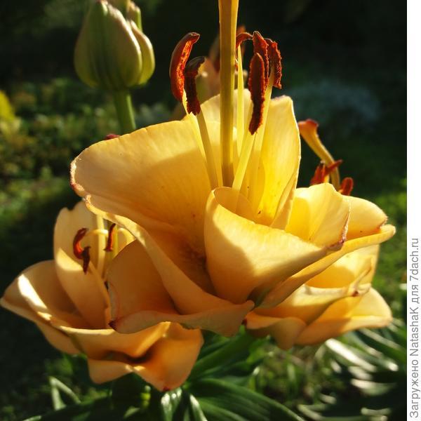 Лилия-тюльпан-роза