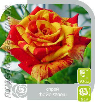 Алтайская роза ФАЙР ФЛЕШ