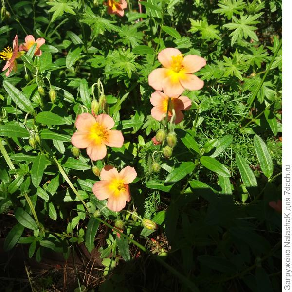 Летом нашла его название, записала и потеряла... Очень хорошее растене особенно на солнце