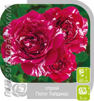 Роза Спрей ПАПЛ ТАЙДЖЕР