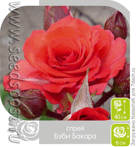 Роза Спрей БЭБИ БАКАРА