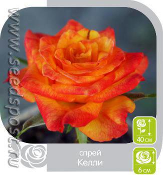Роза Спрей Келли