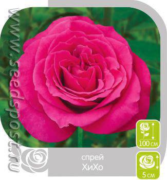 Роза Спрей ХИХО