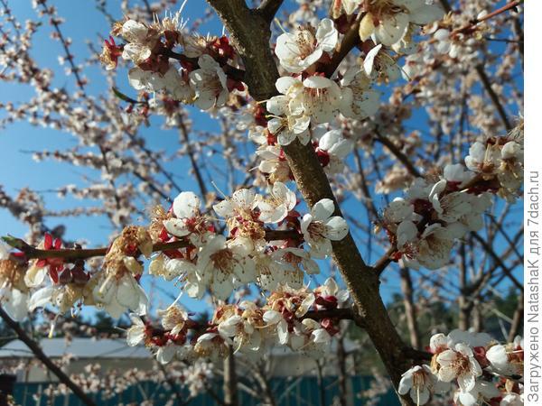 Впервые цветущие абрикосы!
