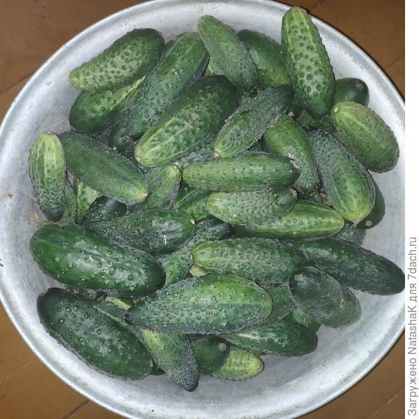 Урожай огурцов в парнике «АгроЩит»