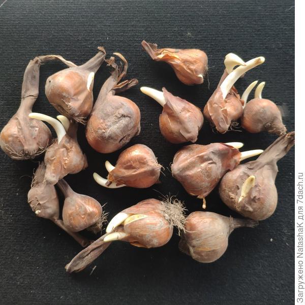 Луковицы безвременника