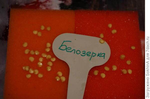 вот такими стали семена у Белозерки