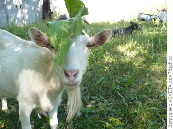 Соседская белянка-Ирокез
