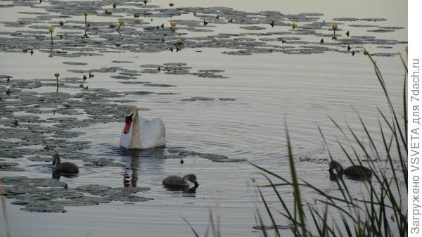 Ик. Лебеди. С Ика гоняют уток и гусей. Местные гоняют их. А по весне цапли бегают по огородам и гоняют курей