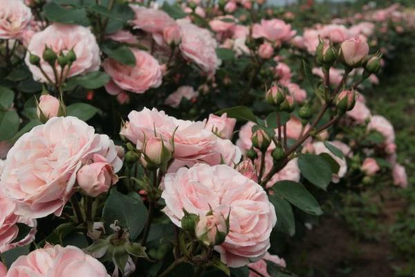 Цветение Bailando / Rosen Tantau, 2008/ впечатляет, особенно в групповой посадке, и радует устойчивостью к болезням