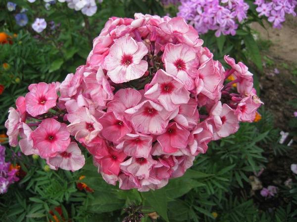 Флоксы могут поражаться кольцевой пятнистостью, курчавостью листьев, погремковостью и некротической пятнистостью