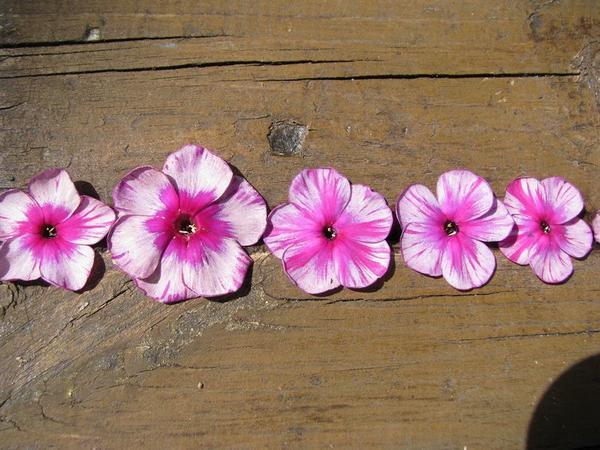 Это типичная вирусная пестролепестность, так как окраска всех цветков разная и ассиметричная