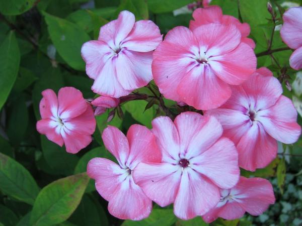 При неблагоприятных погодных условиях здоровый флокс теряет однородность цвета только на раскрытых лепестках, в бутонах цветки сохраняют чистоту сортовой окраски.