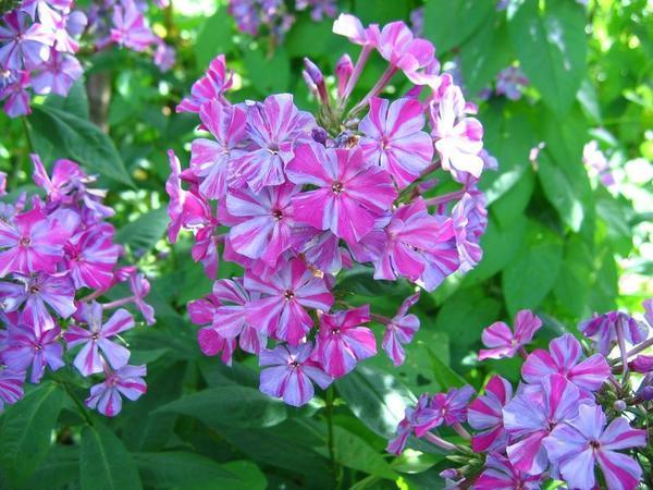 Вирус пестролепестности изменяет окраску цветка, нарушая процесс образования красящего пигмента - антоциана