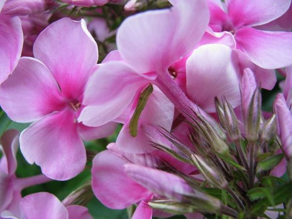 Найти вредителей непросто, они прячутся в густых зарослях цветков и бутонов.