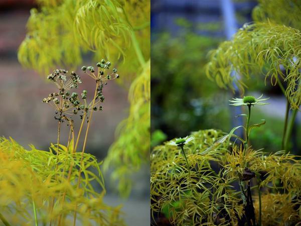 Нюансные сочетания цвета стеблей и цветков мака привлекают необыкновенно