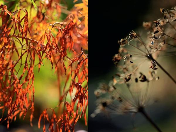 Можно использовать пусторёбрышник в луговых цветниках вместе с ромашками и колокольчиками, геранями и люпинами.