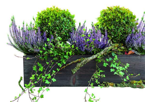 Вереск HILDE с сиреневыми бутонами великолепно расцвечивает зеленую компанию из самшитов и плюща