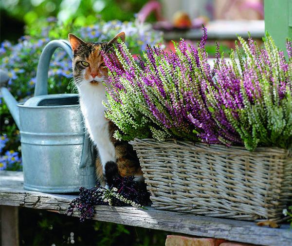 Кошка Машка тоже эстет! Она устроилась на солнечном месте между корзиной с вереском TWIN GIRLS и лейкой.