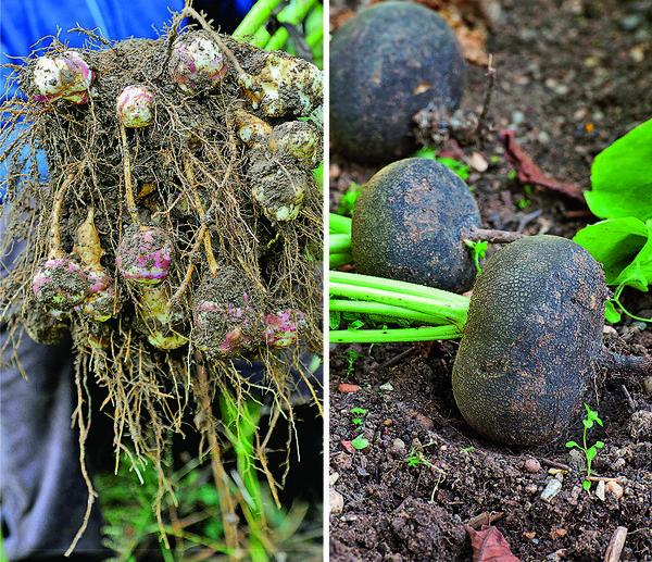 1.Топинамбур, или земляную грушу, размножить проще простого: стоит забыть в земле один клубень - и уже на следующий год он даст 8-10 деток.  2.Черная редька - старая знакомая большинства огородников. Она самая горькая, но и самая полезная.
