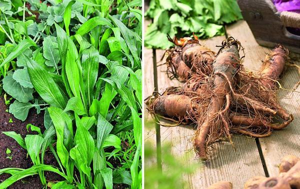 1 Козелец - настоящий деликатес, особенно свежий, только что выкопанный. В погребе корнеплод долго не хранится - быстро становится мягким и утрачивает свой непревзойденный миндальный вкус.  2 Овсяной корень выращивают так же, как и козелец. Семена высевают ранней весной, как только прогреется почва, а в октябре уже можно выкапывать корнеплоды.