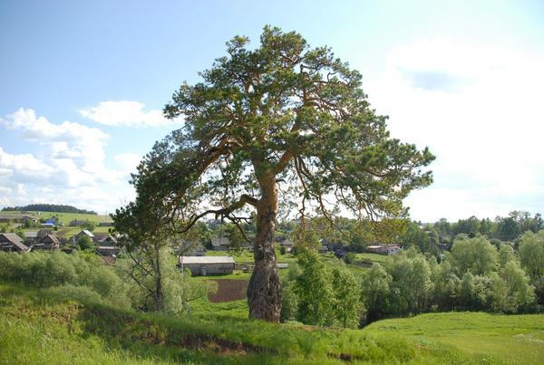 Дерево №111