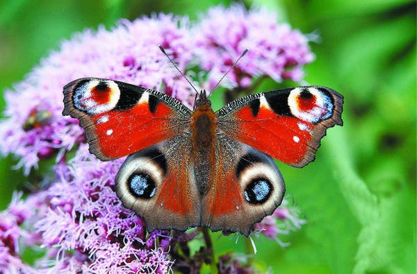 Цветки посконника богаты нектаром, на который со всех сторон слетаются насекомые-сладкоежки