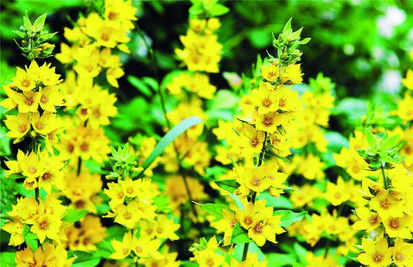 Вербейник. После цветения стебли обрезают, а перед зимой полностью удаляют надземную часть растения.