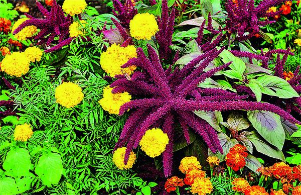 Бархатцы и амарант: гармония цветовых контрастов — ярко-желтого и бордово-пурпурного. Очень эффектное сочетание!