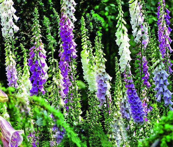 Бытующее в Германии поверье гласит, что нежные цветки-колокольчики наперстянки служили шапочками лесным эльфам.