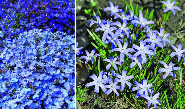 Слева: Лобелия будет чудесно смотреться в розарии: для него выбирайте растение лилово-сиреневых расцветок. Справа: Хиодонокса раскрывает нежные лепестки ранней весной, открывая сезон.