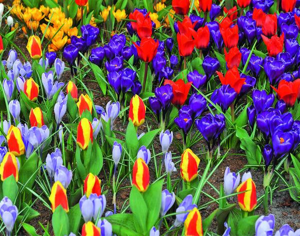 Это не просто яркие первоцветы, а первоцветы, посаженные методом лазаньи - послойно.