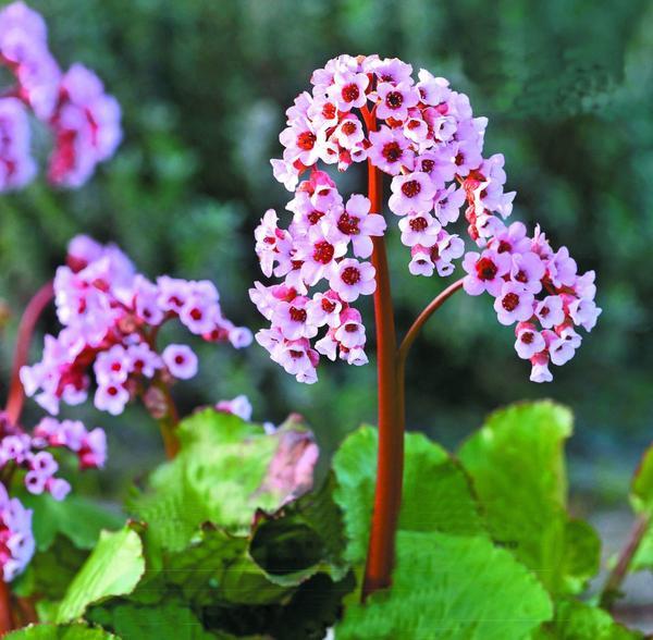 Baby Doll - сорт с прелестными розовыми цветками, который отлично подходит как для посадки по краю цветника, так и для выращивания в горшке.