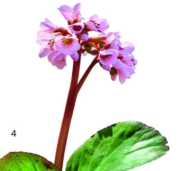 4. BIEDERMEIER - компактное растение высотой всего 30 см со светло-розовыми крупными цветками-колокольчиками.