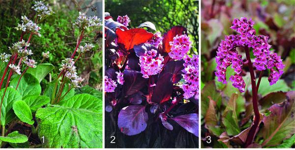 1. Бадан реснитчатый (Bergenia ciliata) относится к тем редким видам, которые на зиму сбрасывают листья. Он предпочитает тенистые места в саду. 2 У PINK DRAGONFLY нежно-розовые цветки позже приобретают лососево-розовый оттенок. Осенью листья растения окрашиваются в насыщенный красный цвет. 3 ABENDGLOCKEN был выведен еще в середине прошлого столетия. Весной бадан этого сорта украшают плотные кисти из пурпурных цветков, похожих на колокольчики.