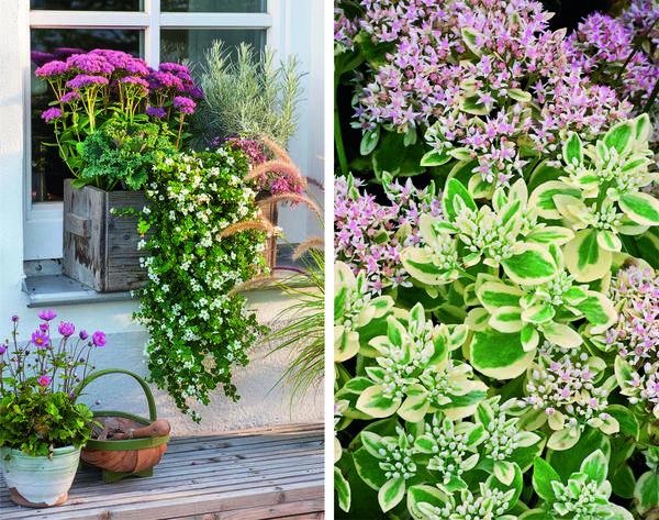 В большом ящике на подоконнике очиток Carl (слева) подружился с цмином (Helichrysum), декоративной капустой и бакопой (Bacopa). Frosty Morn (справа) ростом всего 40 см отличается от своих собратьев необычными пестрыми листьями. Растение этого сорта обильно усыпано цветками на протяжении всего сентября.