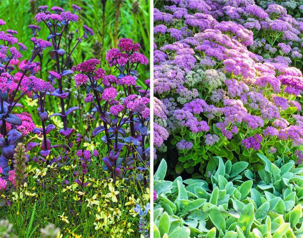 Слева - на фоне темно-красных листьев и карминно-розовых соцветий очитка Karfunkelstein светло-желтые цветки кореопсиса Moonbeam кажутся более яркими. Справа - очень гармонично смотрится серебристо-серый чистец византийский в тандеме с очитком Herbstfreude с розовыми соцветиями. Позже цветки последнего приобретают коричнево-красный оттенок.