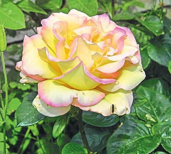 Чайно-гибридная роза Gloria Dei