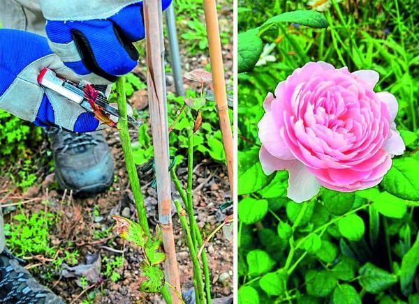 Английская роза Queen of Sweden