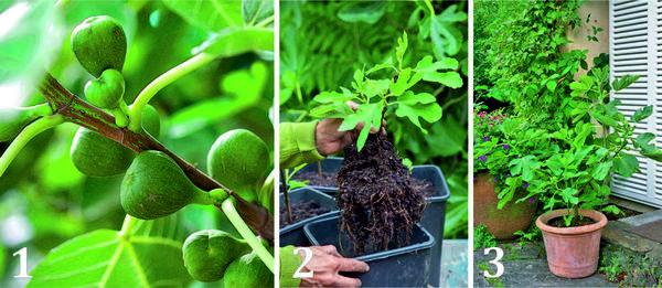 1 В первый год после посадки инжир цветет, но плоды не вызревают. Урожай можно получить только на второй год.  2 Инжир проще всего размножать черенками, которые легко окореняются в песке или в легком грунте. Пересаживать саженец в домик побольше стоит лишь тогда, когда земляной ком полностью прорастет корнями.  3 Растения низкорослых сортов, таких как Doree и Dalmatie, можно выращивать в горшках и пересаживать раз в 2-4 года в более объемную емкость.