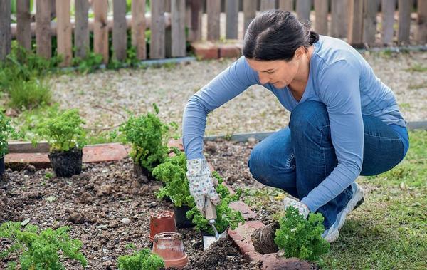 Оригинально обрамить грядку поможет кудрявая петрушка. По периметру огорода можно высадить уже взрослые растения или посеять семена ранней весной