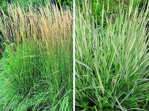 Вейник остроцветковый (слева) и райграс (справа)