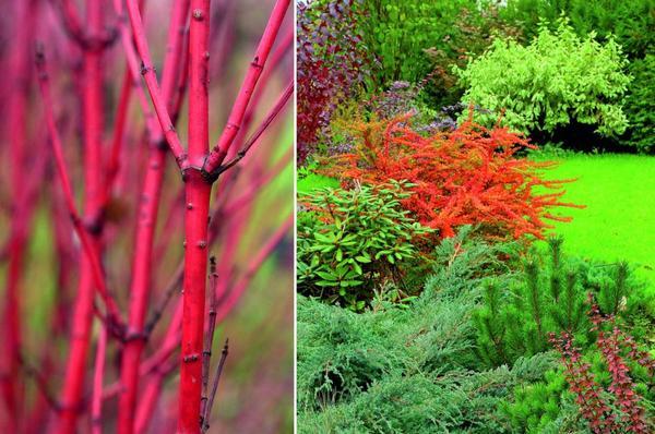 Слева - дерен белый. Справа - барбарисы и хвойные растения.