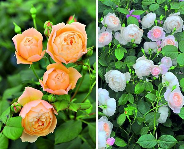 Роза Roald Dahl (слева).  Роза Desdemona (справа).