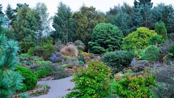 Гармонично смотрятся злаки в соседстве с пышными кустами и хвойными растениями